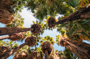 Fan Palm Framed Prints - Native Desert Fan Palms Framed Print by Rich Leighton