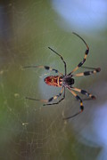 Florida Tapestries - Textiles Prints - Native Florida spider. Print by Maryna Cruz