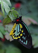 Butterfly Artwork Prints - Natural Awakenings Print by Juergen Roth