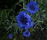 Kimbrella   - Natural Blue Flower