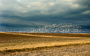 Snow Geese Prints - Natural Geometrics Print by Skip Willits