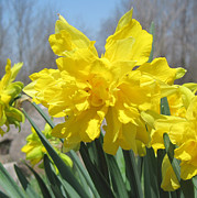 Naturalized Daffodils Close Up Print by Conni Schaftenaar Elderberry Blossom Art