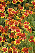 Flower Gardens Photo Prints - nature - flowers -Blanket Flowers Five  - photography Print by Ann Powell