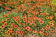 Gaillardia Photos - nature - flowers -Blanket Flowers Four - photography by Ann Powell