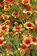Floral Photographs Photo Metal Prints - nature - flowers -Blanket Flowers Six -photography Metal Print by Ann Powell