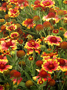 Floral Photographs Prints - nature -flowers - Blanket Flowers Three  - photography Print by Ann Powell