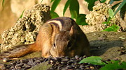 Brittany Perez Metal Prints - Nature Gone Wild-Chipmunk Metal Print by Brittany Perez