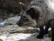 Ledge Photos - Natures Beauty Silver Fox  by Inspired Nature Photography By Shelley Myke