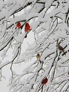 Red Birds In Snow Prints - Natures Christmas Ornaments Print by Shannon Story