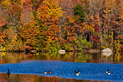 Waterfowl Prints - Natures Colorful Autumn Print by Karol  Livote