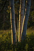 Three Trees Photos - Natures Glow by Karol  Livote