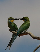 Swallow Photos - Natures Heart - Swallow-tailed Bee-eaters by Bruce J Robinson