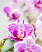 Dendrobium Photos - Natures Perfume by Ivy Ho