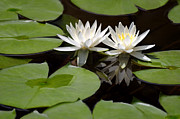 Green Pyrography Prints - Natures Snow White Water Lilies Print by Linda Phelps