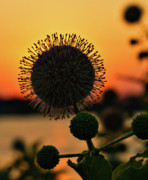 Nikon Metal Prints - Natures Sunset Metal Print by Charles Dobbs