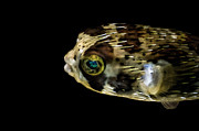 Porcupine Fish Art - Naturescape 52 b by  Otri  Park