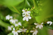 Charmian Vistaunet - Naupaka Plant Flowers