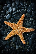 Treasures Photo Prints - Nautical - Starfish on Black Rocks Print by Paul Ward