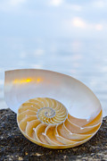 Cynthia Holling-Morris - Nautilus at Sunset Beach