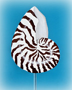 Seashell Mixed Media - Nautilus Sea Shell by Karyn Robinson