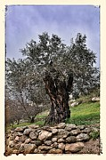 Mark Fuller - Nazareth Olive Tree
