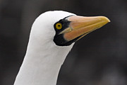 Sally Weigand - Nazca Booby Portrait