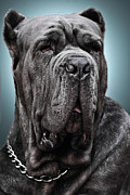 Veterinary Prints - Neapolitan Mastiff Greenberg Style Print by Guillermo Magana