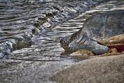Green Sea Turtle Photos - Nearly There by Douglas Barnard