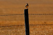 Middle Of Nowhere Prints - Nebraskas Bird Print by Elizabeth Winter