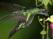 Flying Birds Prints - Nectar feeding Hummingbird Print by Heiko Koehrer-Wagner
