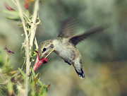 Hummingbird Prints - Nectar Time  Print by Saija  Lehtonen