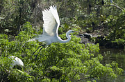 Great White Egrets Framed Prints - Need More Branches Framed Print by Carolyn Marshall