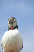 Seabirds Posters - Need To Look My Best Poster by Anne Gilbert