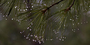 Pine Needles Photo Originals - Needles and dew by Mark Sidwell