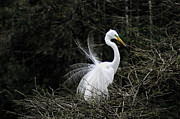 Bird Rookery Swamp Prints - Nest Building Egret Print by William McEvoy