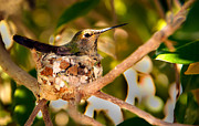 Awesome Prints - Nesting Annas Print by Robert Bales