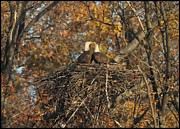 Fall Colors Autumn Colors Pyrography Posters - Nesting Bald Eagles Poster by Daniel Behm