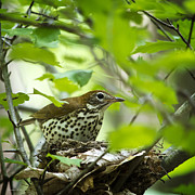 Thrush Posters - Nesting Bird Wood Thrush Poster by Christina Rollo