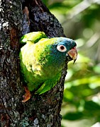 Quaker Parrot Photos - Nesting Blue-crowned Parakeet by Ira Runyan
