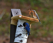 Mkz Photos - Nesting bluebirds by Mary Zeman