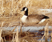 Canadian Marsh Prints - Nesting Goose Print by Thomas Young