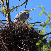 Ardea Herodias Posters - Nesting Great Blue Heron Poster by Randy Hall