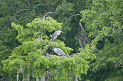 Snider Framed Prints - Nesting Great Blue Herons Framed Print by Byron Snider