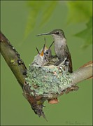 Feeding Birds Pyrography Prints - Nesting Hummingbird Family Print by Daniel Behm