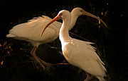Fort Meyers Framed Prints - Nesting Ibis Framed Print by J L Woody Wooden
