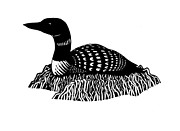 Sea Birds Drawings Posters - Nesting Loon Poster by Art  MacKay