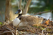 Mother Goose Posters - Nesting Mother Canadian Goose Poster by John Magyar Photography