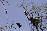 Nesting Pair Of American Bald Eagles 2 Print by Thomas Young