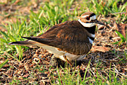Killdeer Metal Prints - Nesting Peak Metal Print by Leslie Kirk