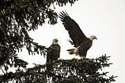 Tim Moore - Nestucca Bay Bald Eagles